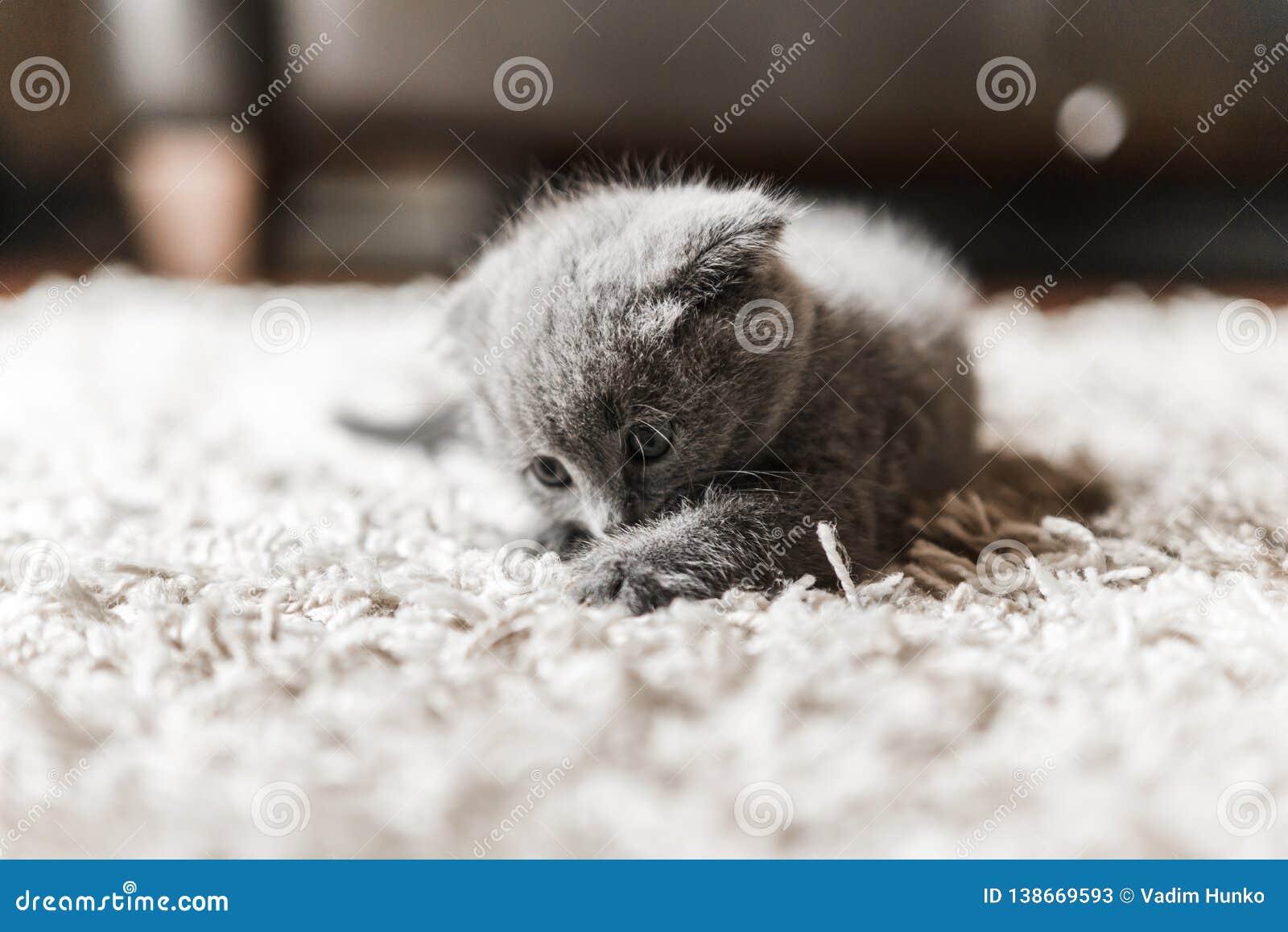 Kotów kochanków klub