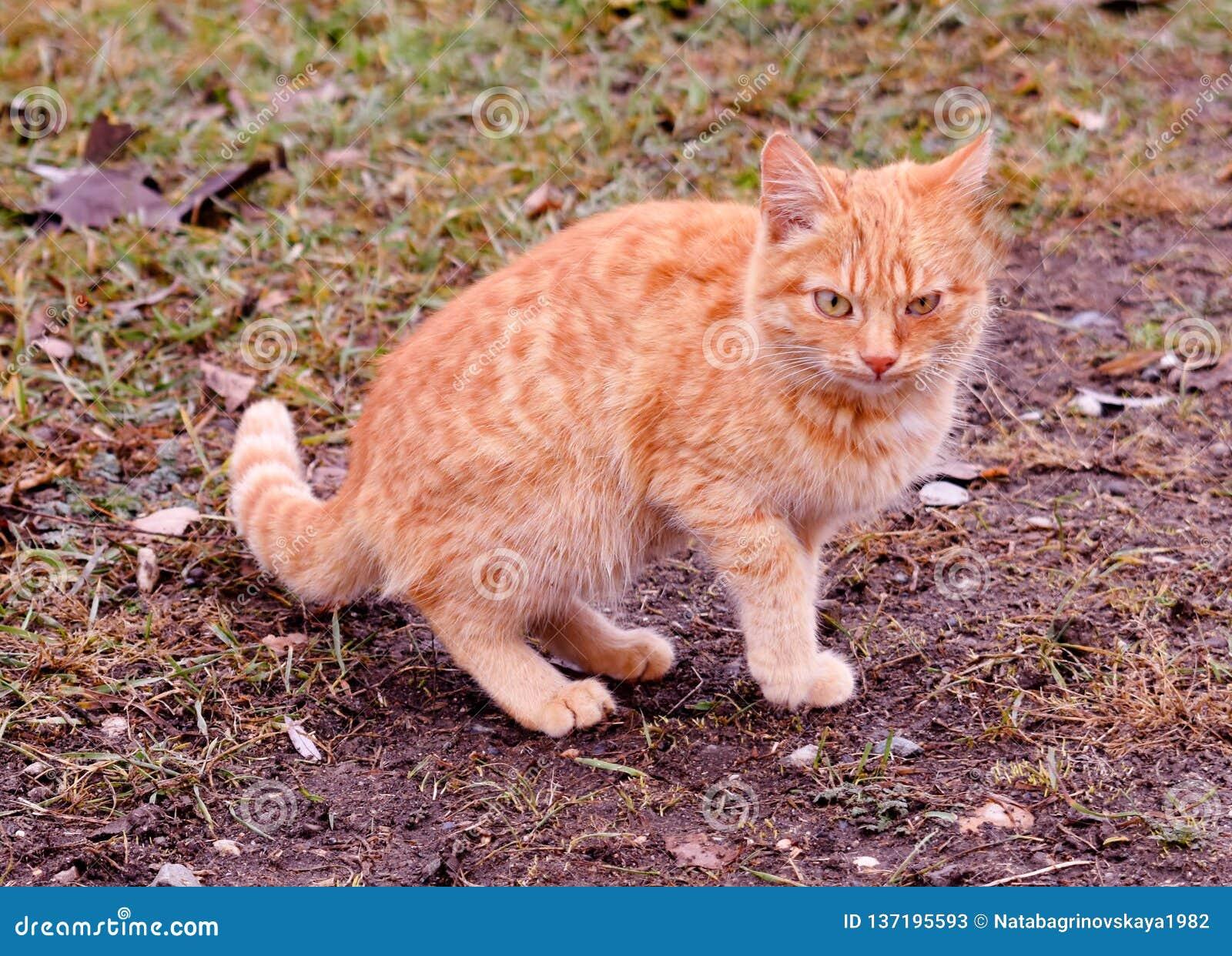 Kotów kotów zwierzęcia domowego figlarki dziki bezdomny błąka się zwierzę