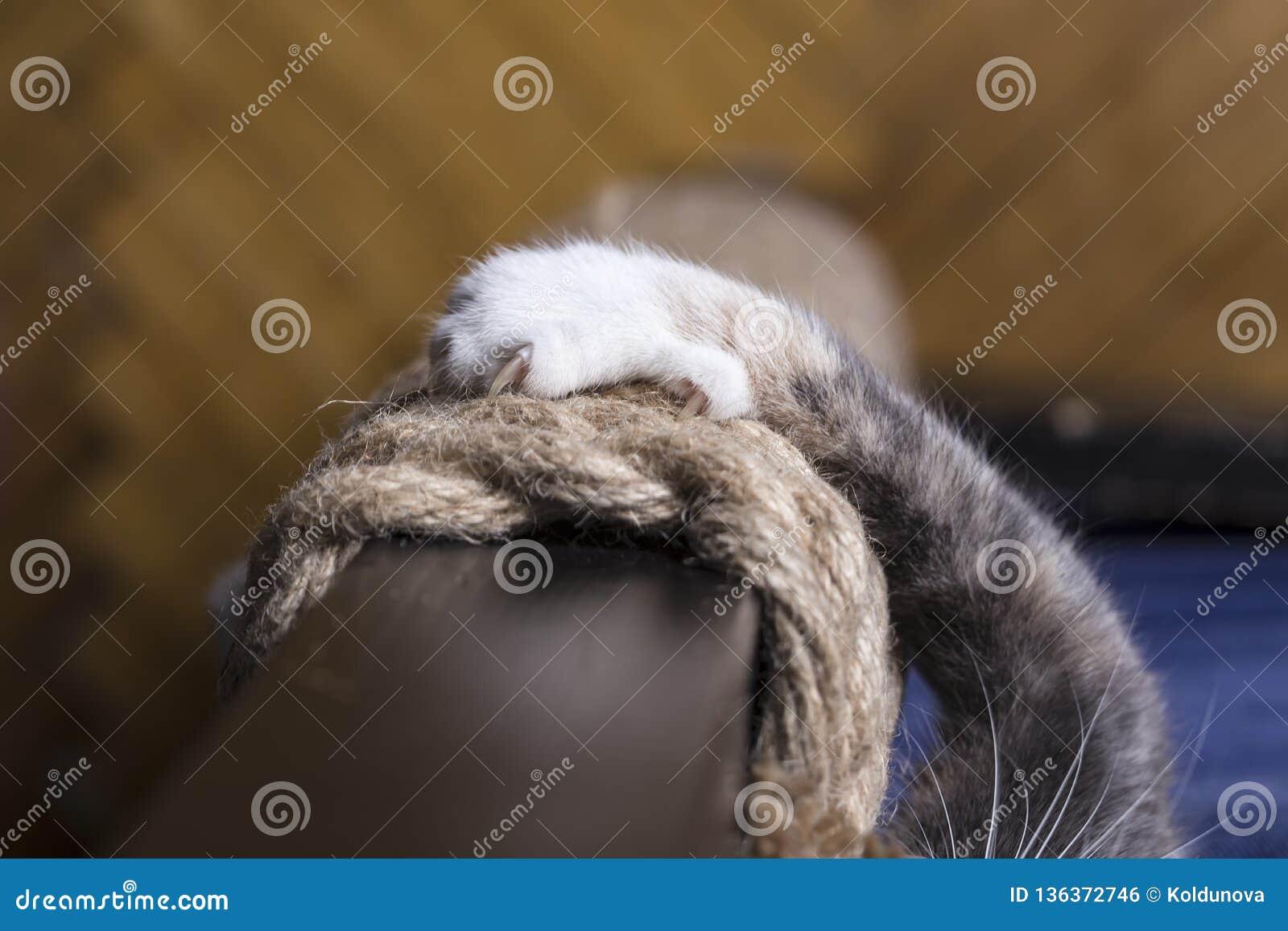 Kot łapa z ostrzem drapa na arkanie