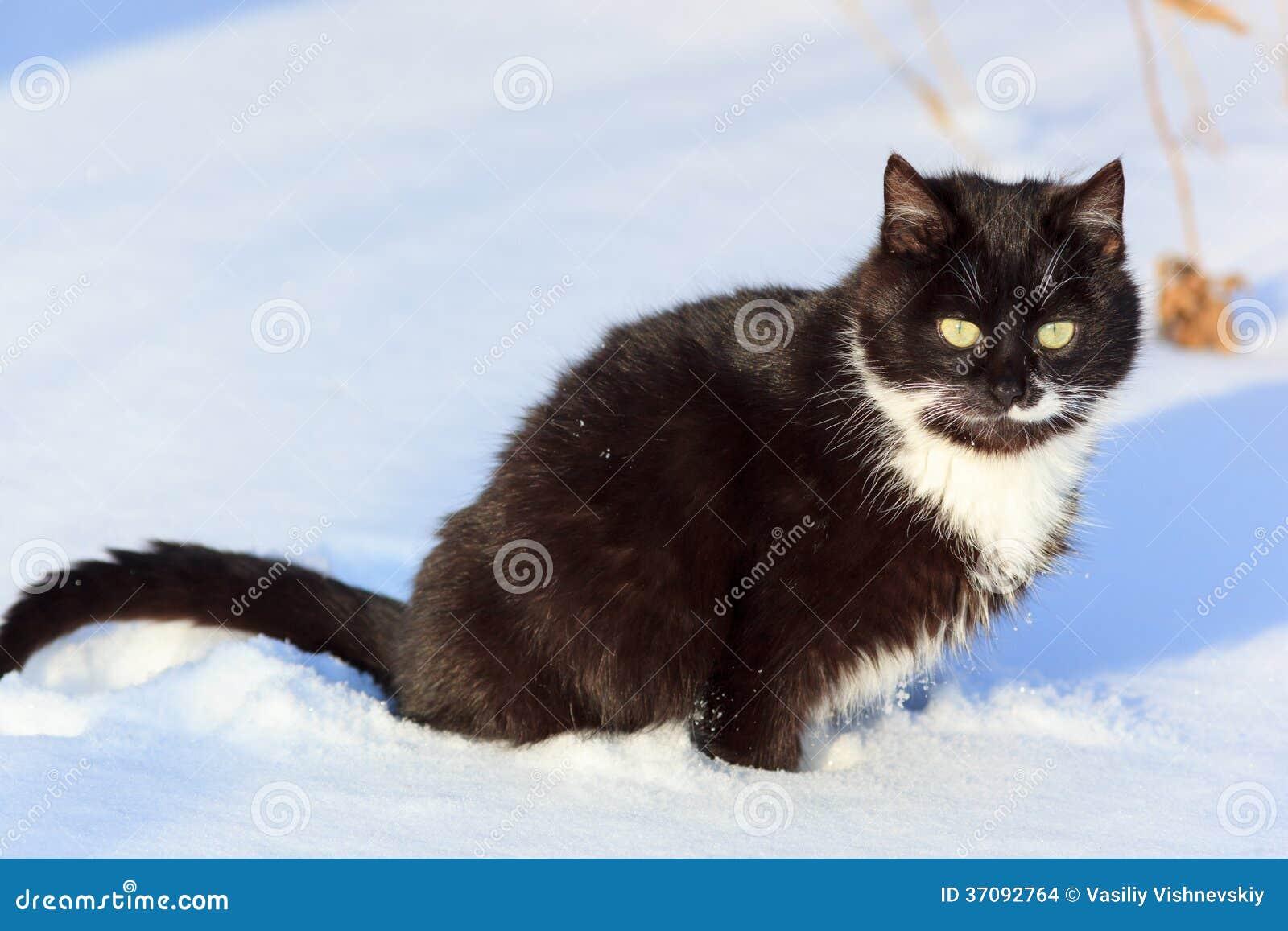 Download Kot. zdjęcie stock. Obraz złożonej z gibb, tomcat, domowy - 37092764