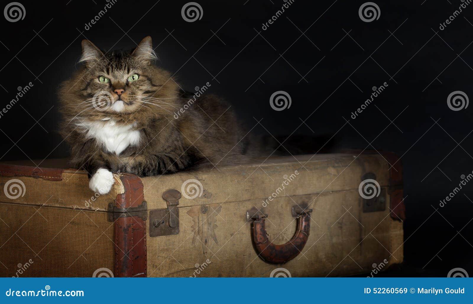 Kot Kłaść rocznik walizkę