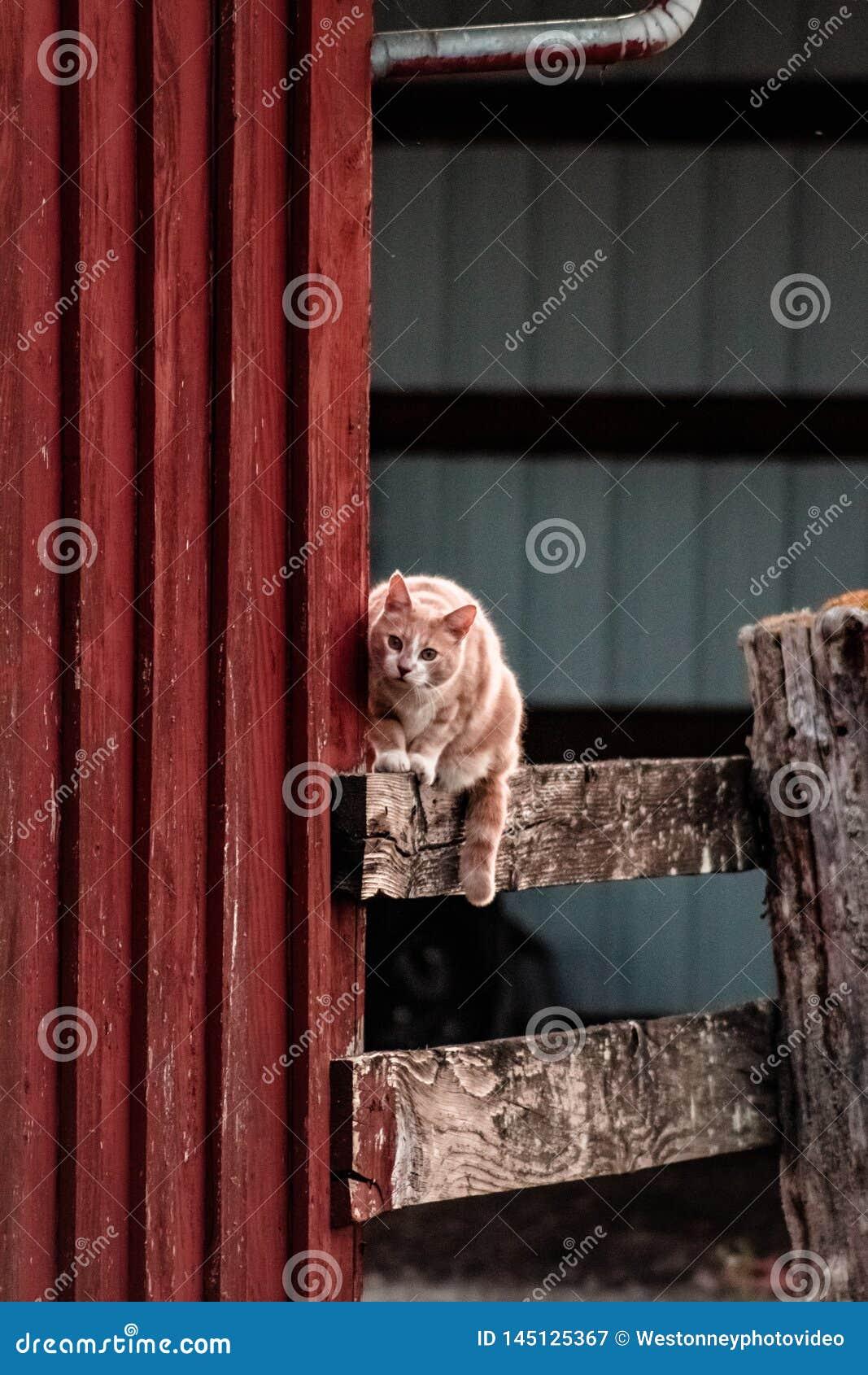 Kot Patrzeje myszy na Barnyard ogrodzeniu