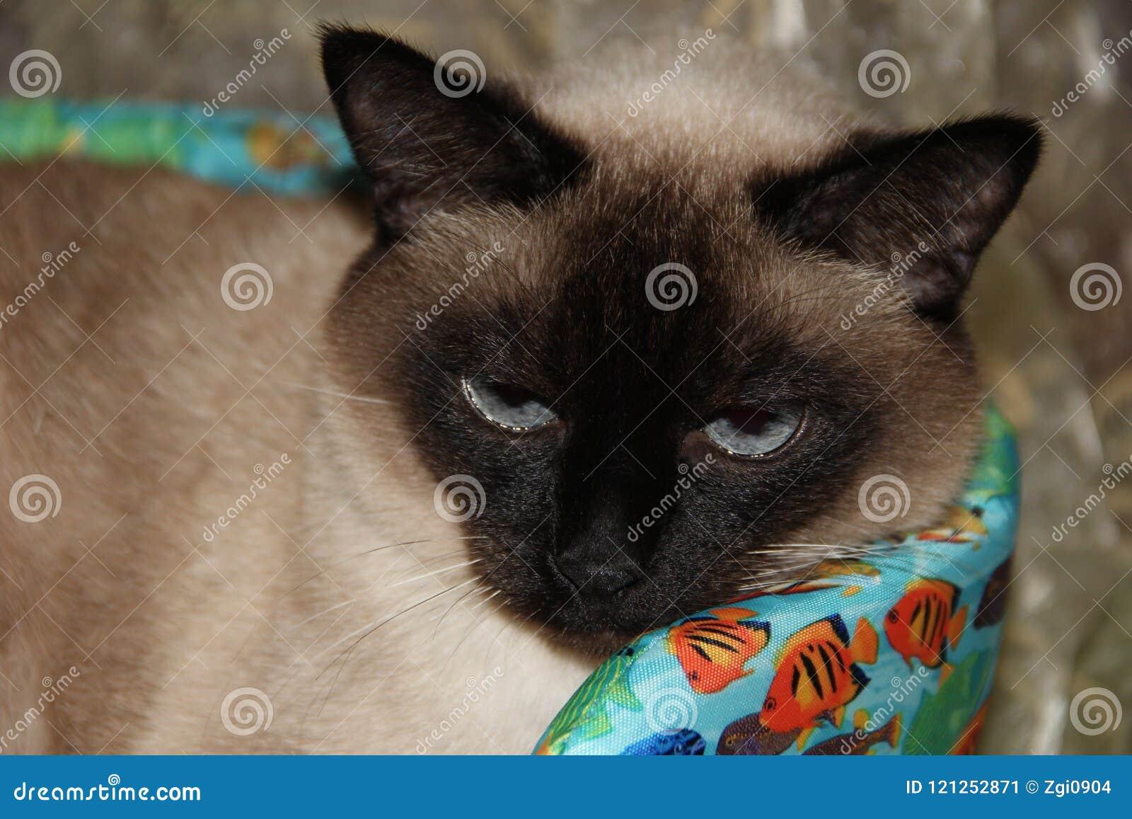 Kot siamese pet Zwierzęcy świat