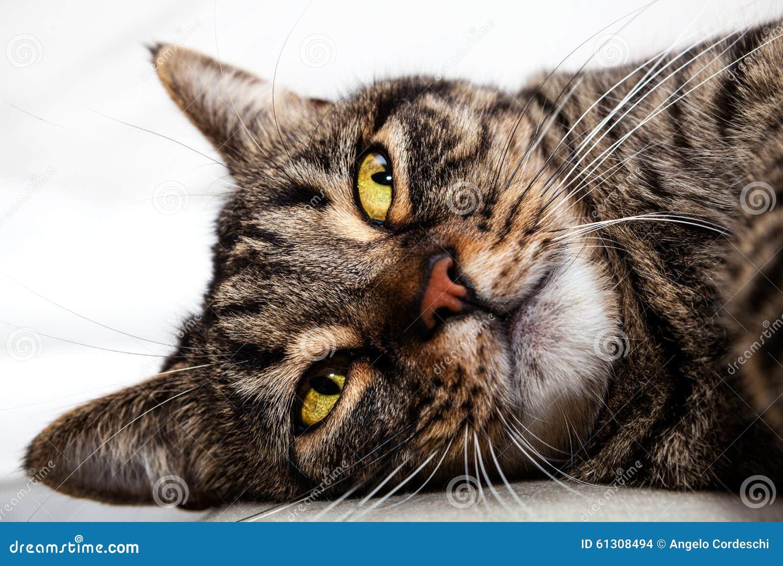 Kota przyjaciela koci relaksować Twarzy zbliżenie