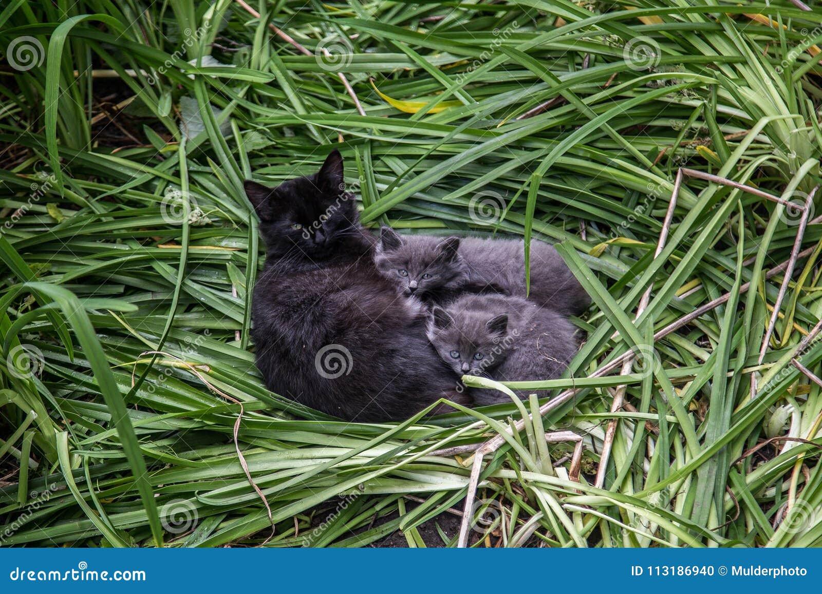 Kota ` s rodzina Śliczny uroczy puszysty czarny kot z dwa szarymi figlarkami na zielonej trawie