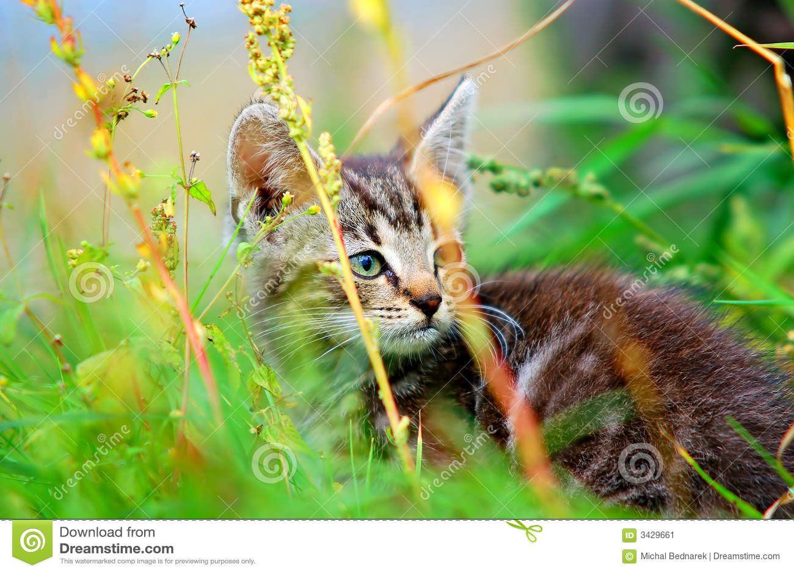 Kotek trawy