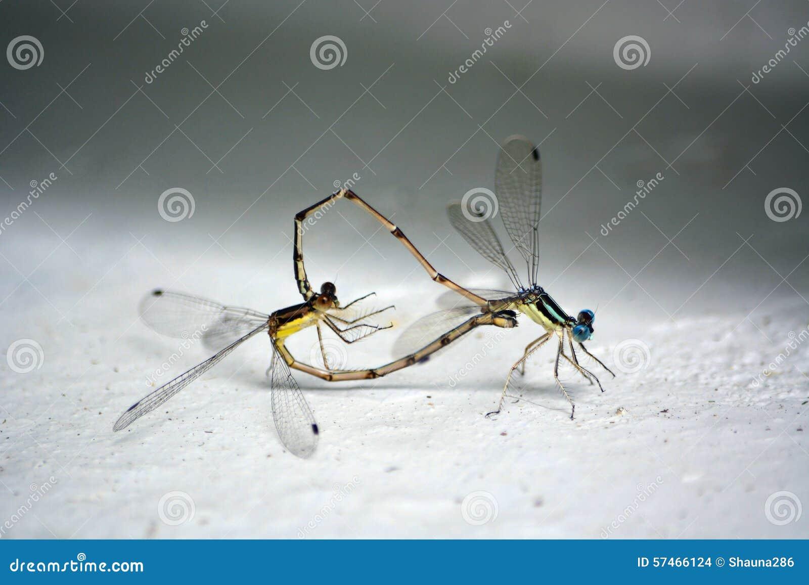 Kotelni Dragonflies