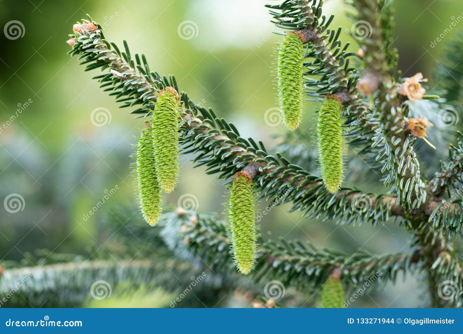 Kottebakgrund Närbild av unga gröna gran-träd kottar på träd