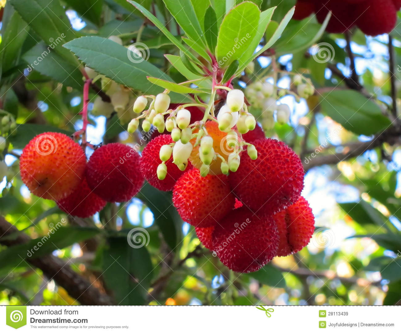 Kousa Dogwood Fruit And Flowers Stock Image Image Of Berries Bell
