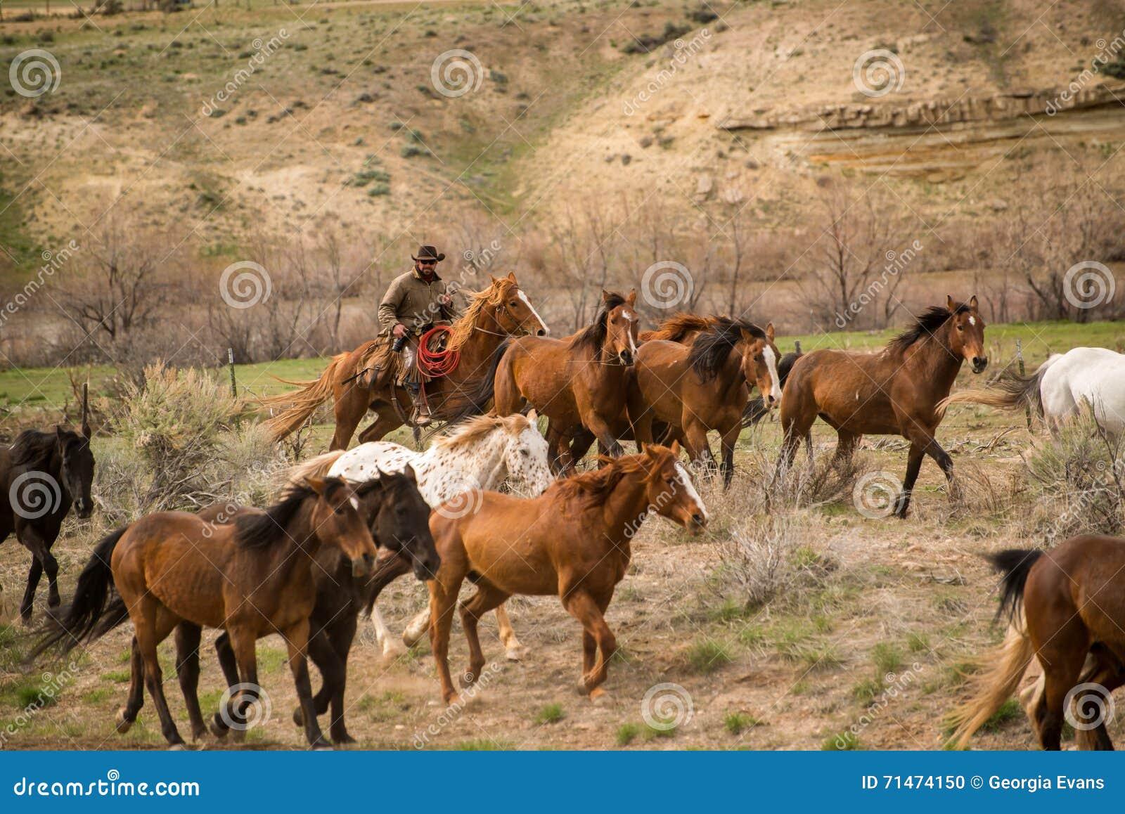 Kowboj spiera się w górę stada konie w obława