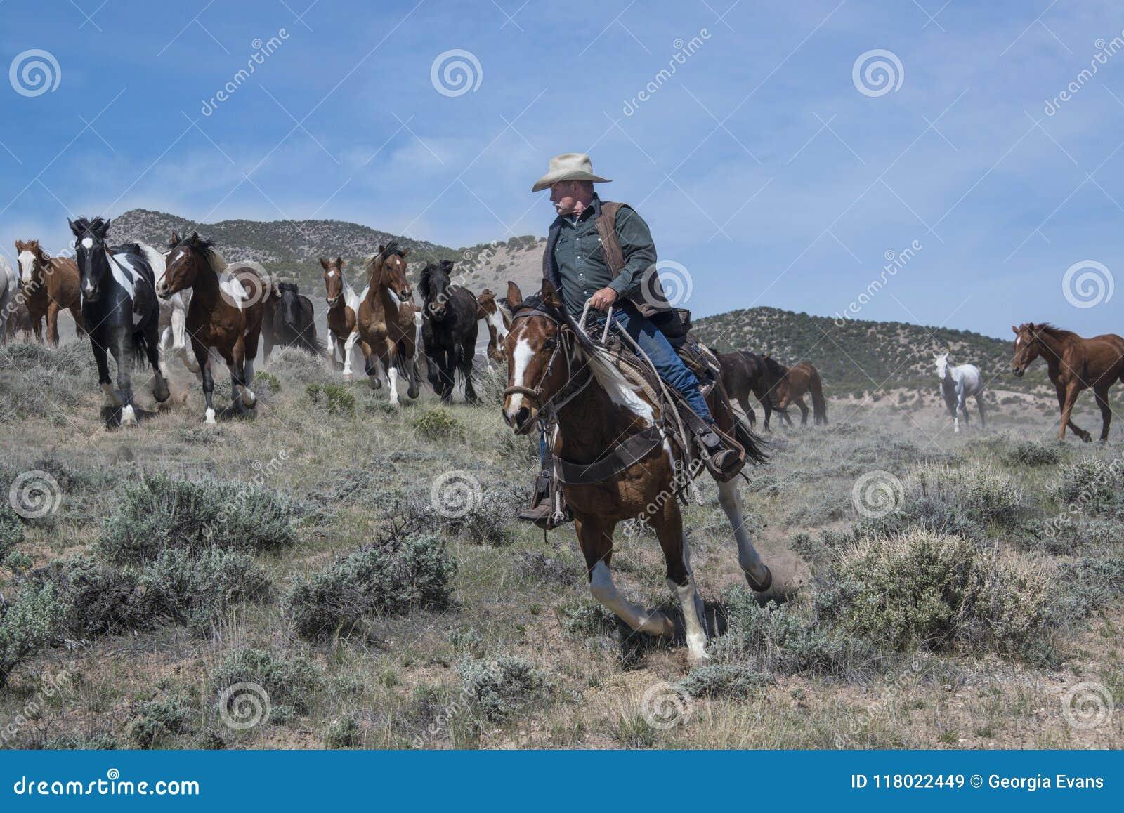 Kowbojskiej wrangler jazdy farby koński wiodący stado galopujący konie przy cwałem