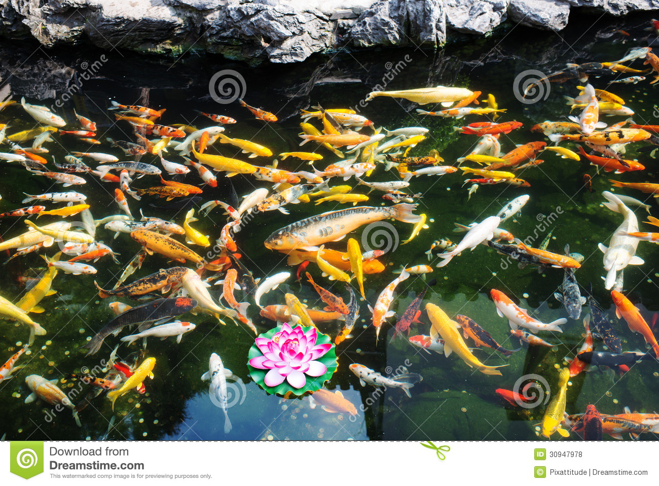 Koy fish in the the jade buddha temple shanghai china for The koy pond