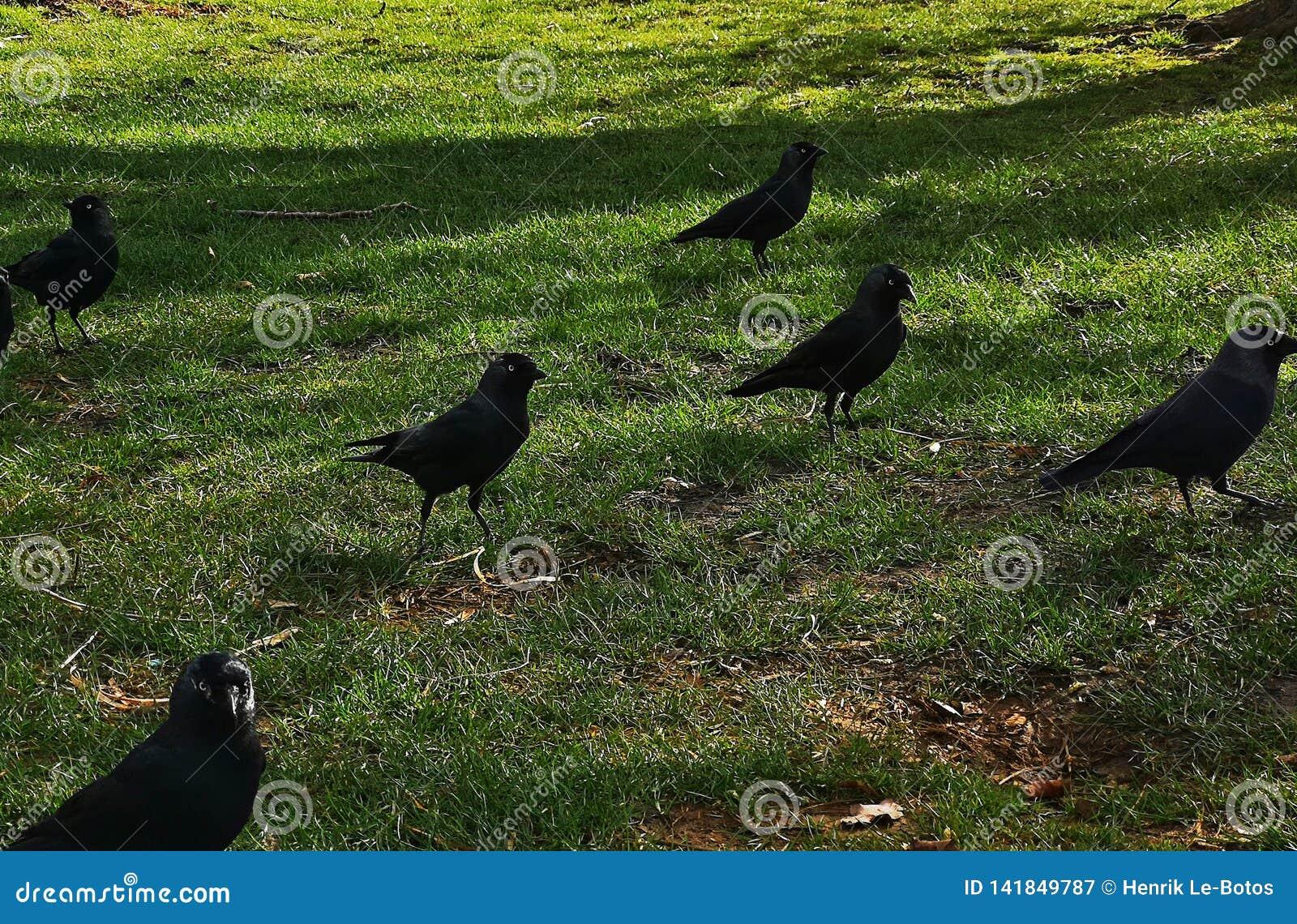 Krähe in Richmond Park