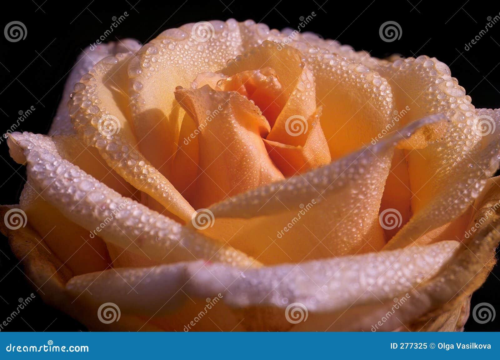 Kräm tappar rose vatten