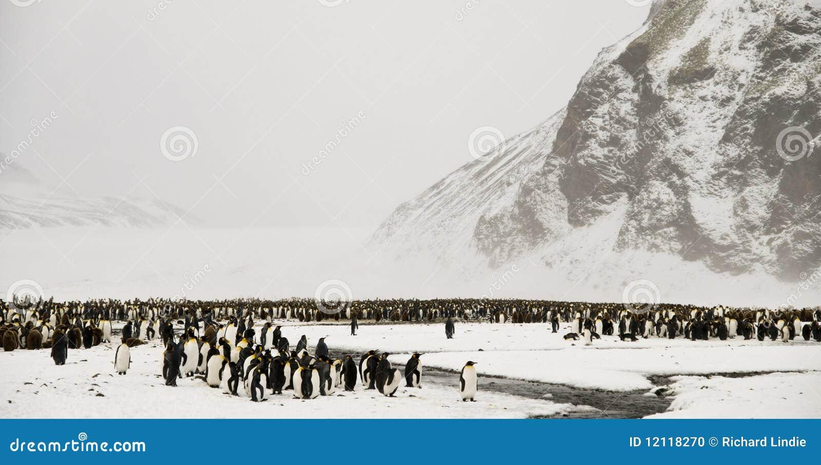 Królewiątka pingwinów śnieżna kraina cudów