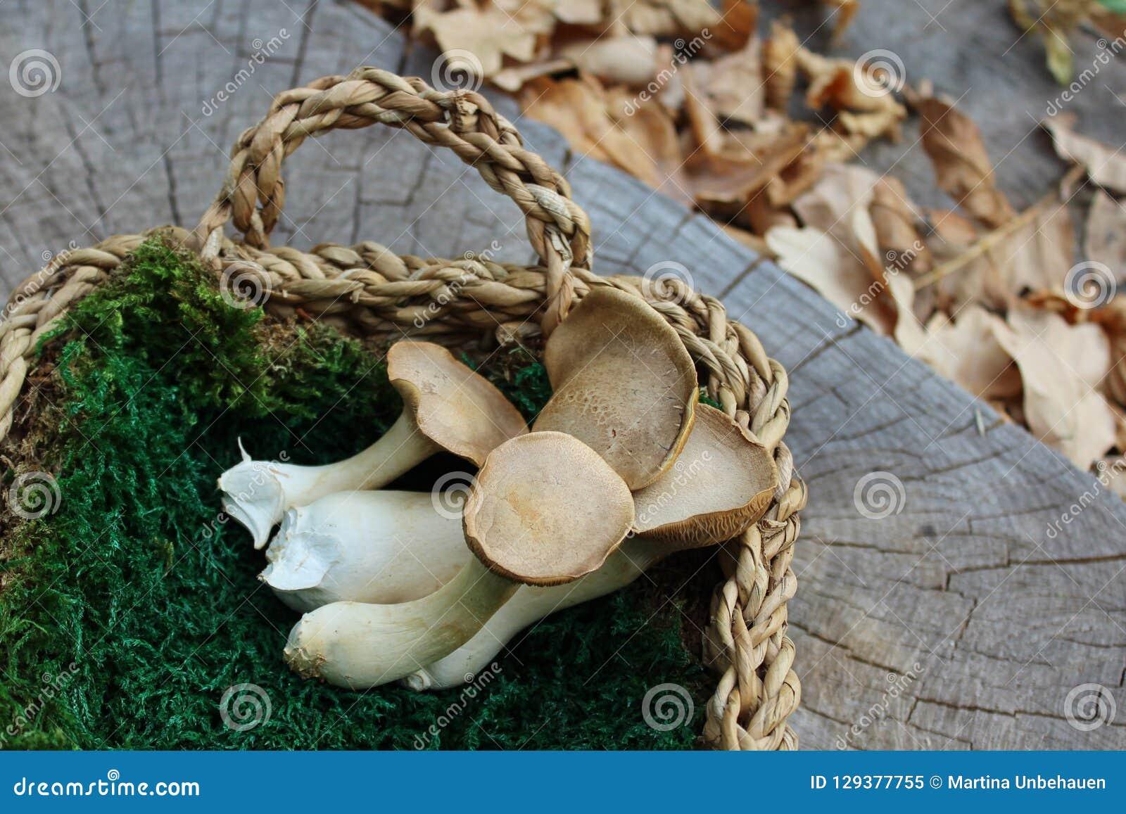 Królewiątko ostrygowe pieczarki w koszu na drzewnym bagażniku