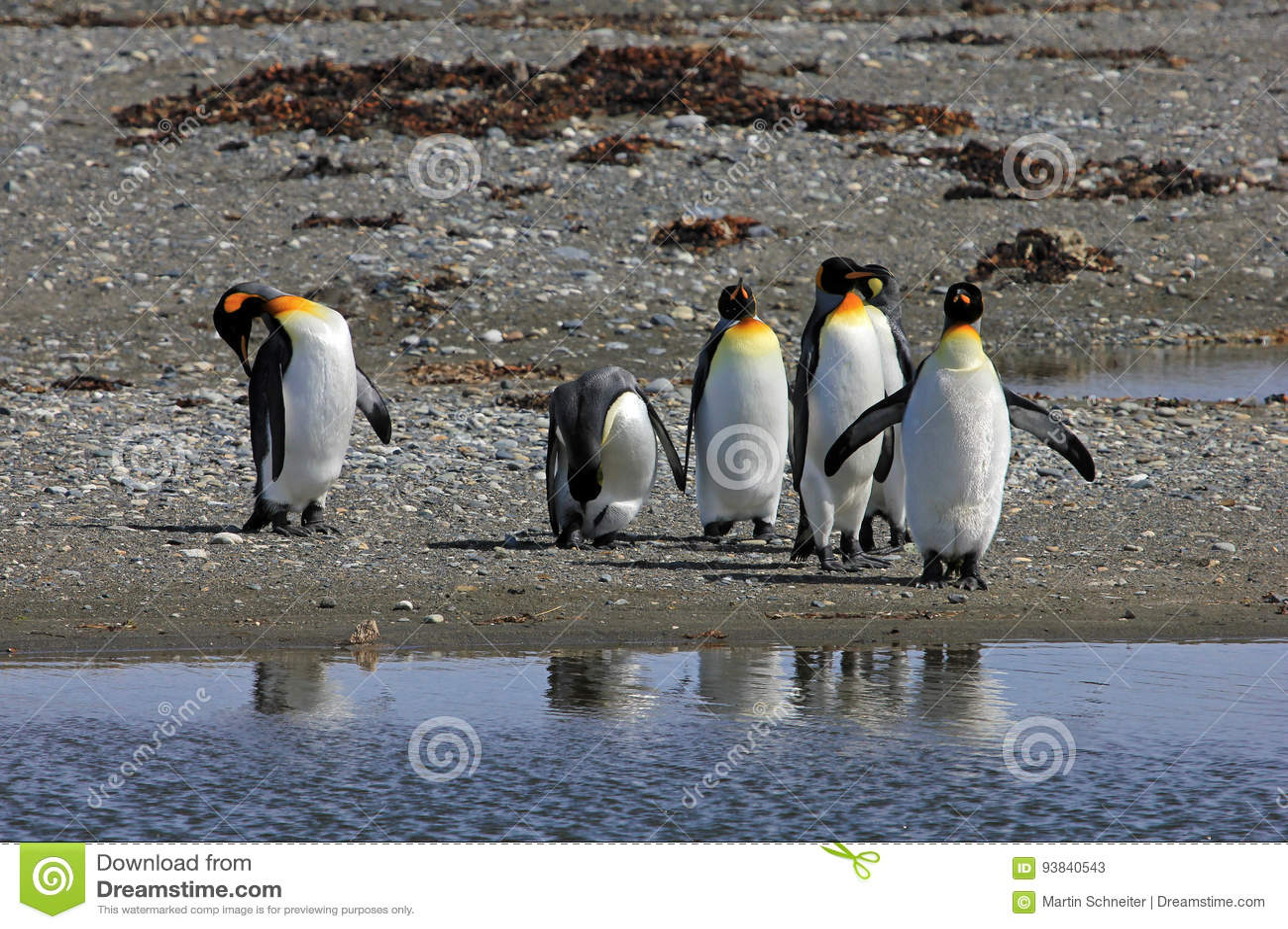 Królewiątko pingwinów żyć dziki przy Parque Pinguino Rey, Patagonia, Chile