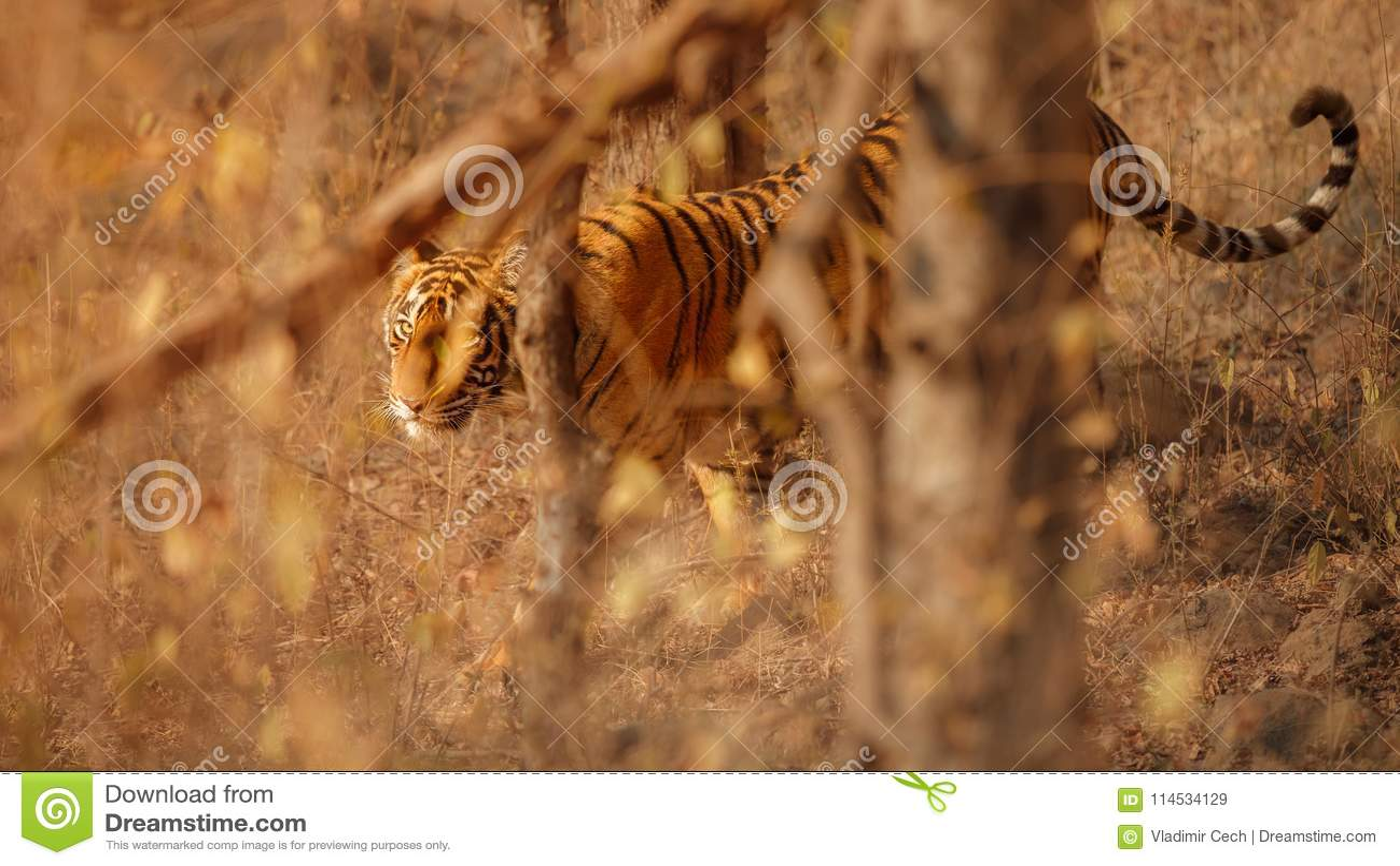 Królewski Bengal tygrys na pięknym złotym tle Zadziwiający tygrys w natury siedlisku Przyrody scena z niebezpieczną bestią Gorącą