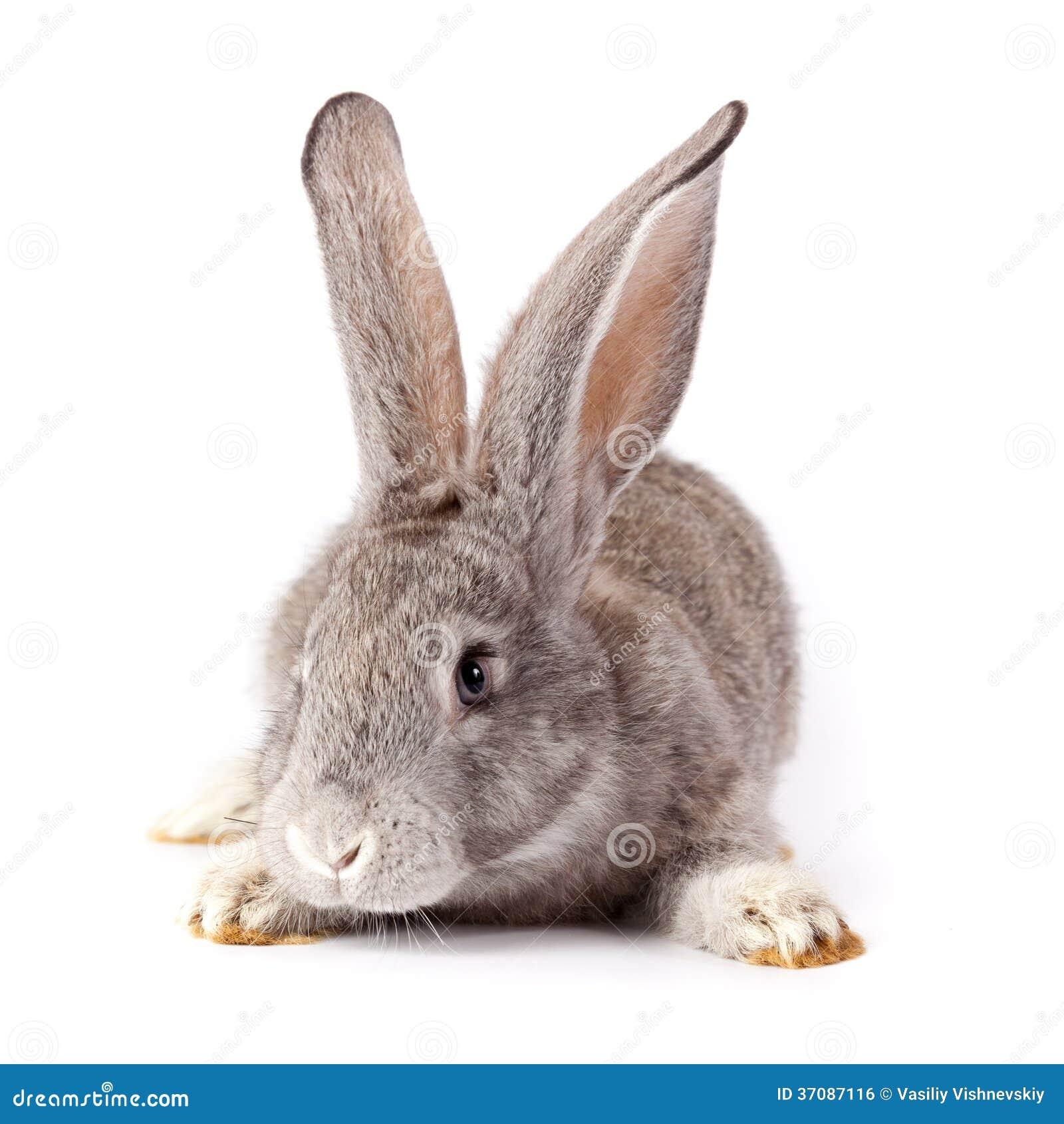 Download Królik zdjęcie stock. Obraz złożonej z zwierzę, biały - 37087116