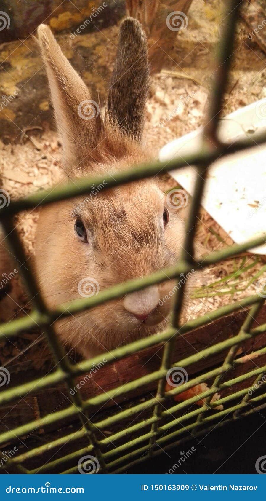 Królika obsiadanie w klatce, spojrzenia i głodni oczy gniewni