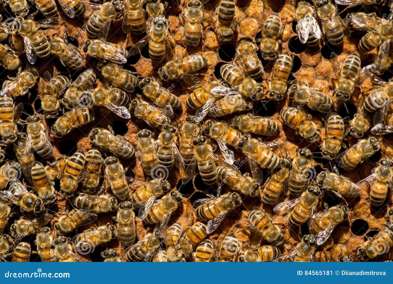 Królowej pszczoły mrowie