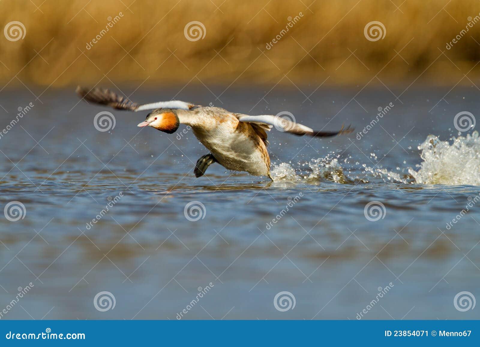 Krönad för doppingpodiceps för cristatus stor waterbird