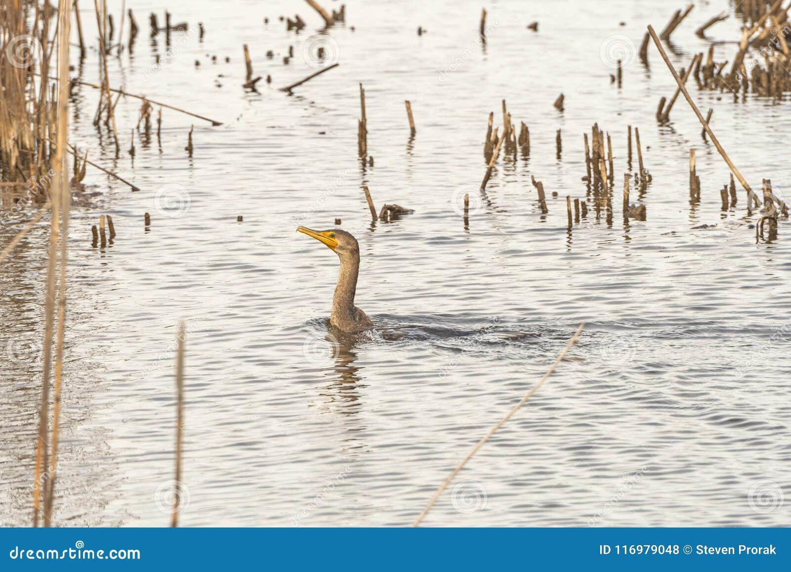 Krönad kormoran för tonåring dubblett i ett damm