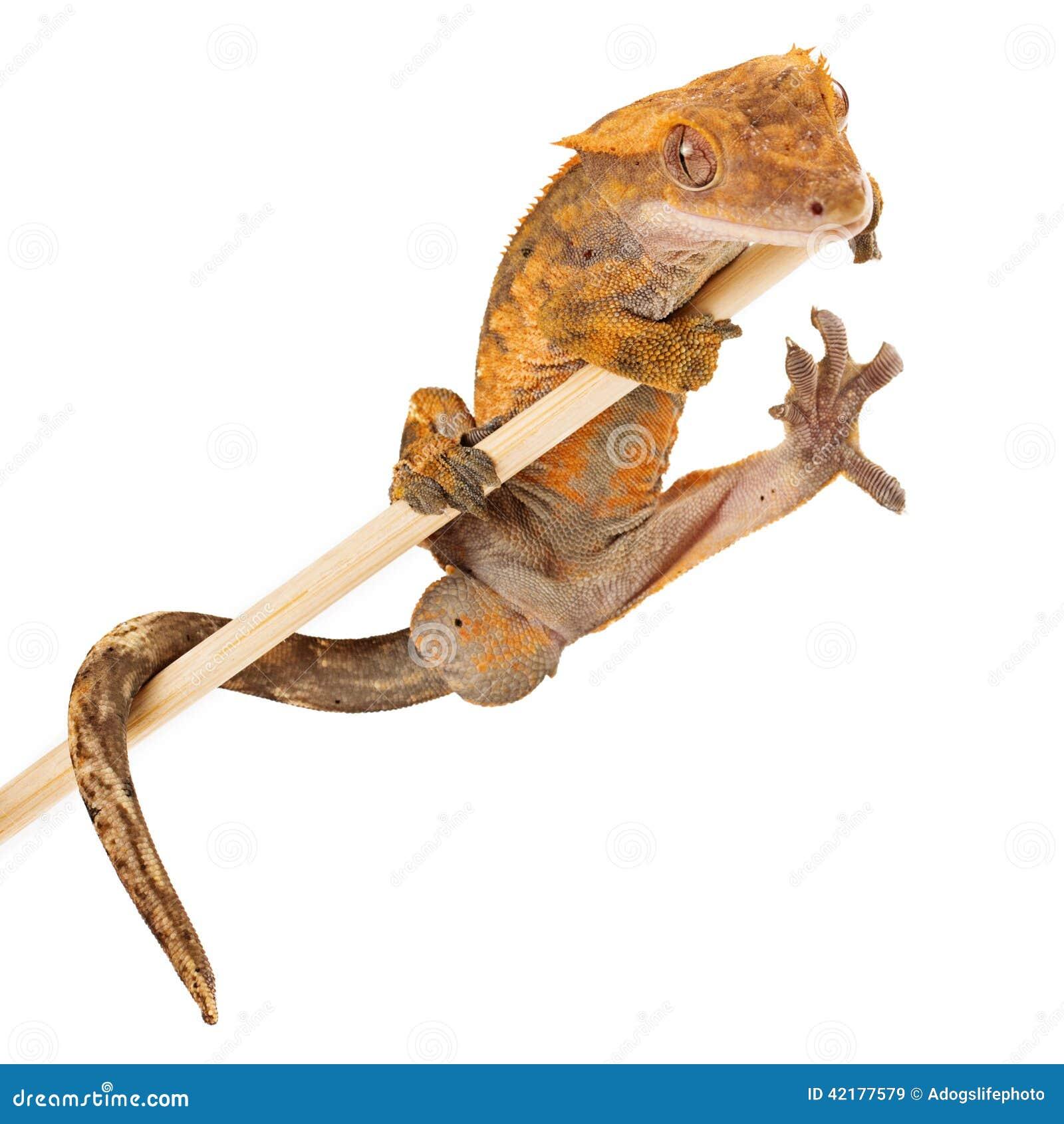 Krönat geckoinnehav på en pinne