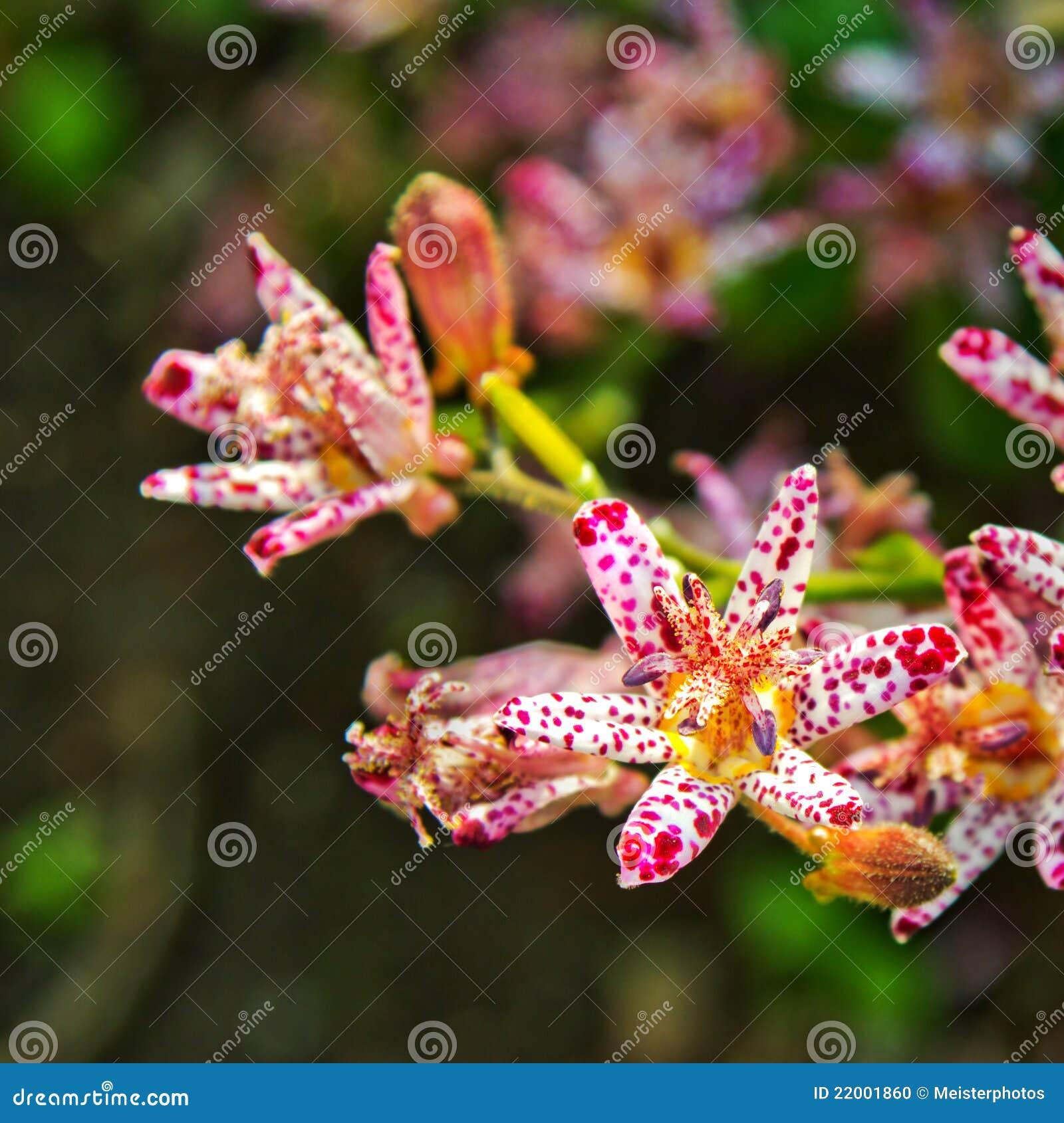 Kröten-Lilie tricyrtis formosana