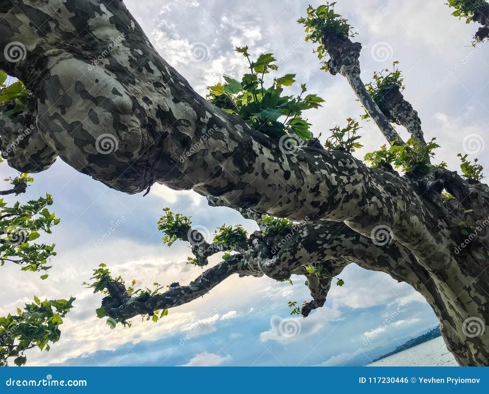 Kręcony drzewo przeciw niebu blisko jeziora