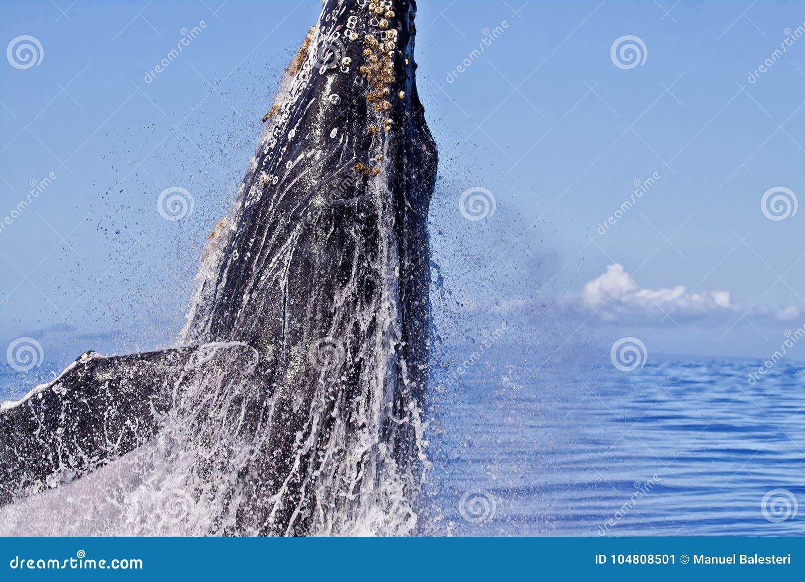 Krańcowy zakończenie Humpback wieloryb zaczyna pogwałcenie