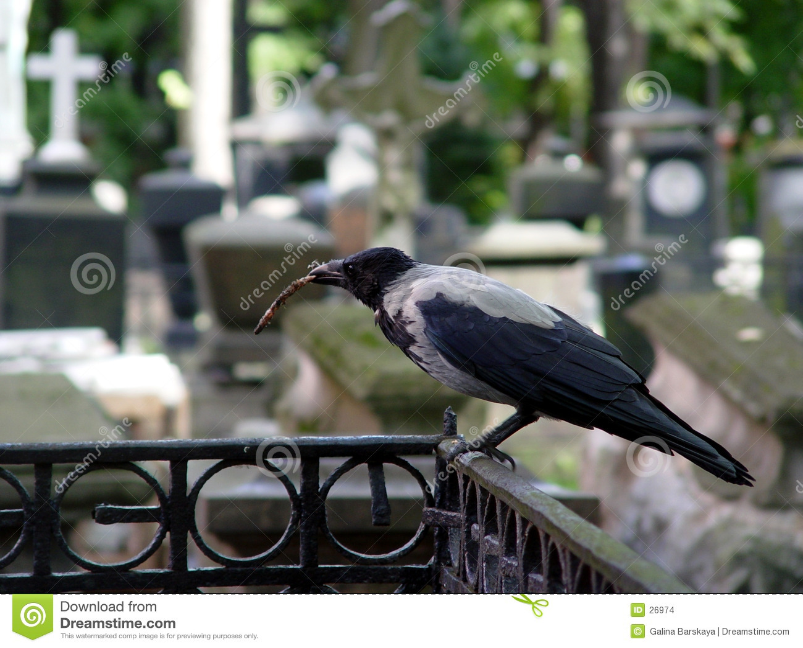Kraai bij de begraafplaats