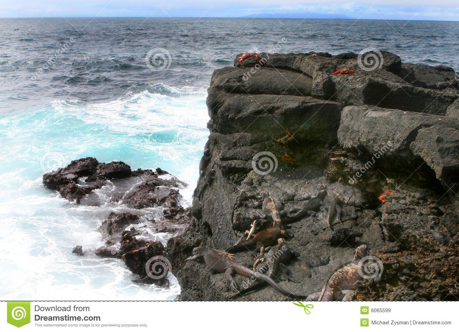 Krab iguany lightfoot marine, sally.