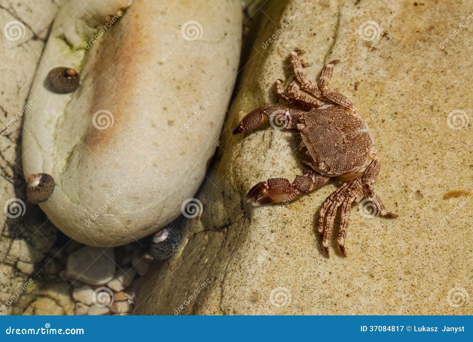 Download Krab Na Stone.beach Pechon, Cantabria, Hiszpania Obraz Stock - Obraz złożonej z jeden, środowisko: 37084817