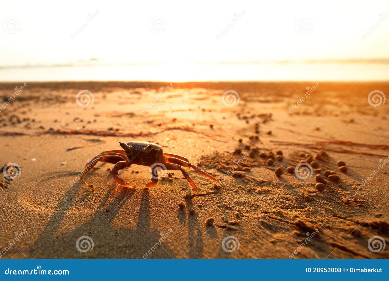 Krab na wybrzeżu