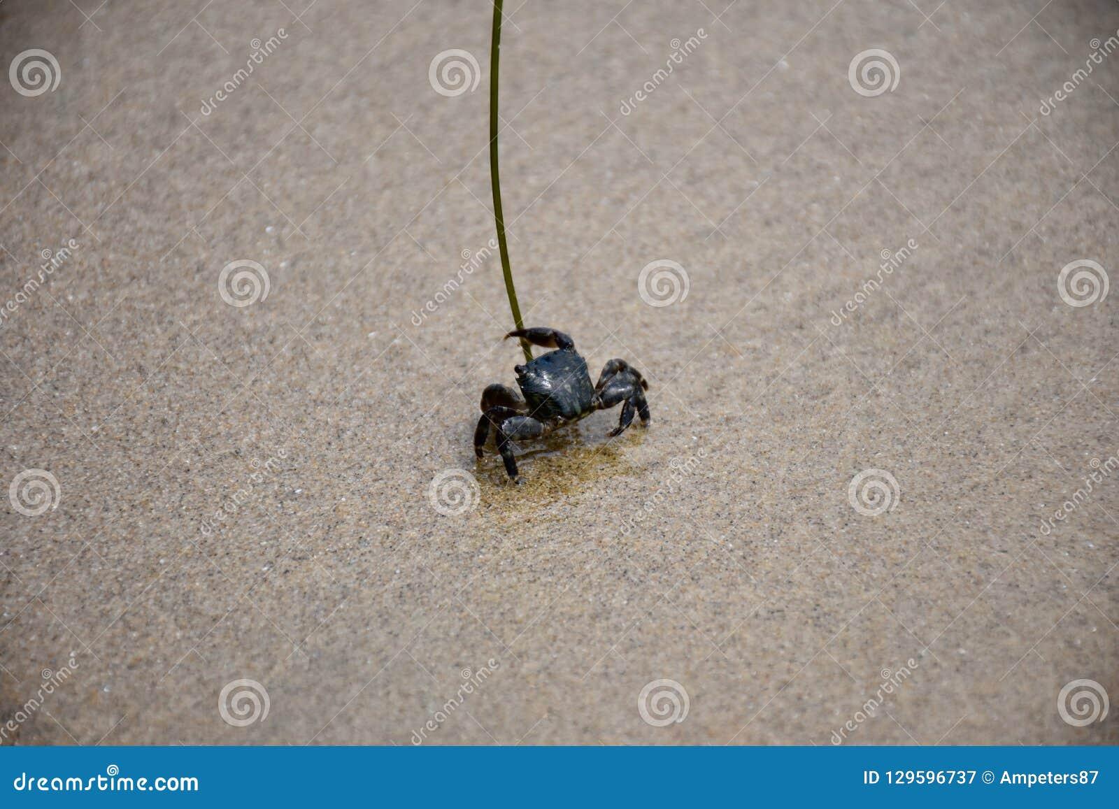 Krab op het zand in Crystal Cove State Park in Californië