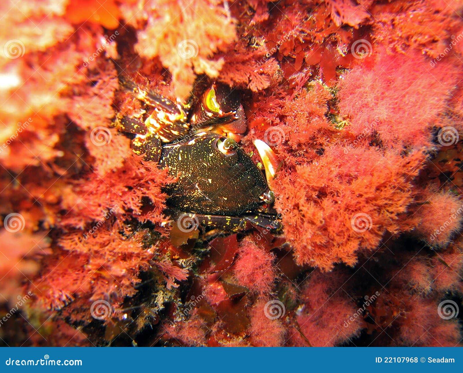 Krab in rode algen