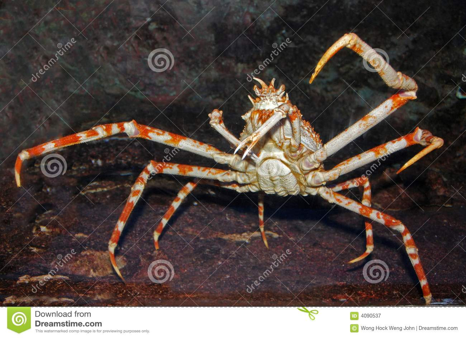 Krab w akwarium pająk