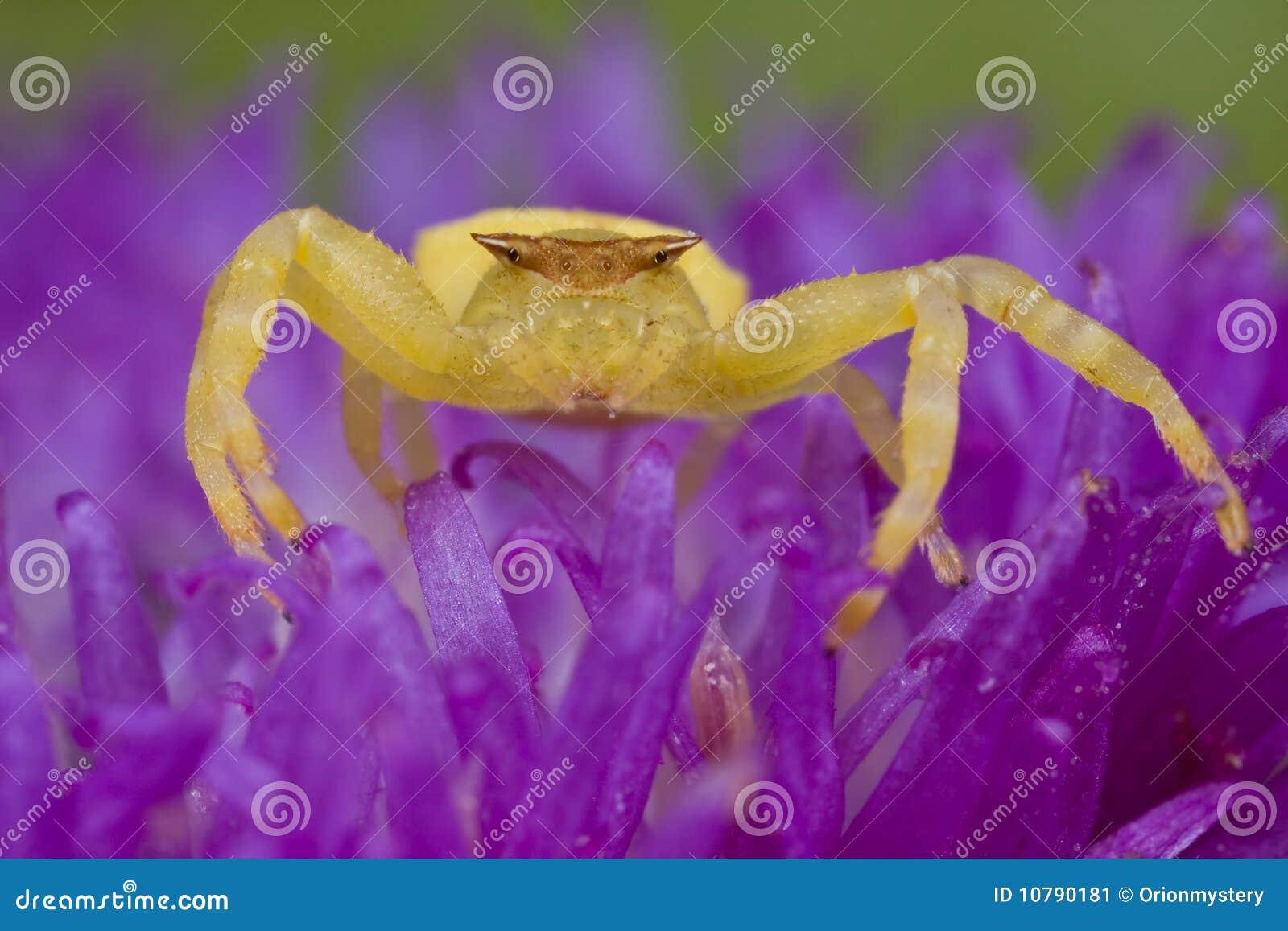 Kraba kwiatu złoty jeżatki purpur pająk