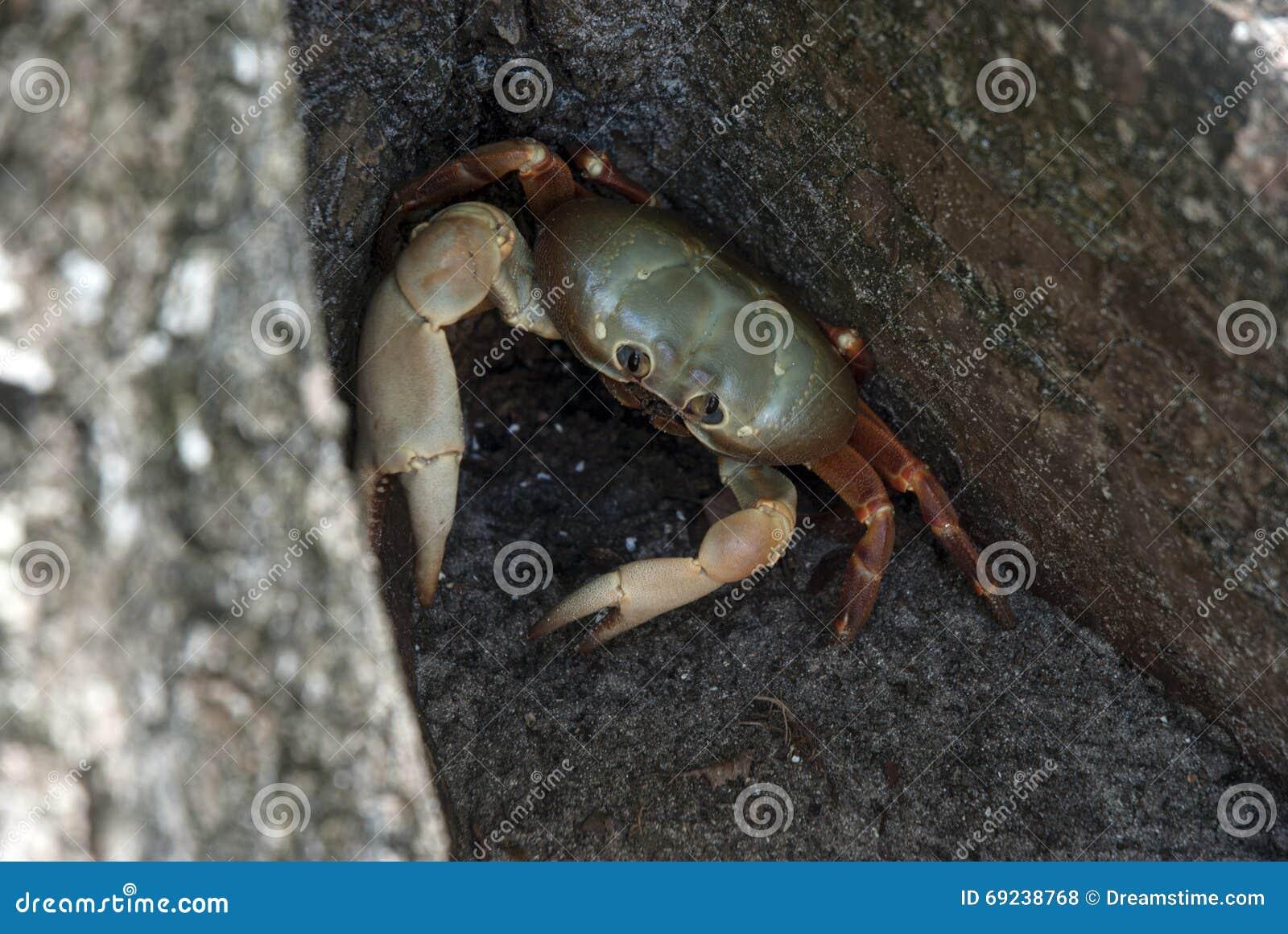 Krabbe auf Land
