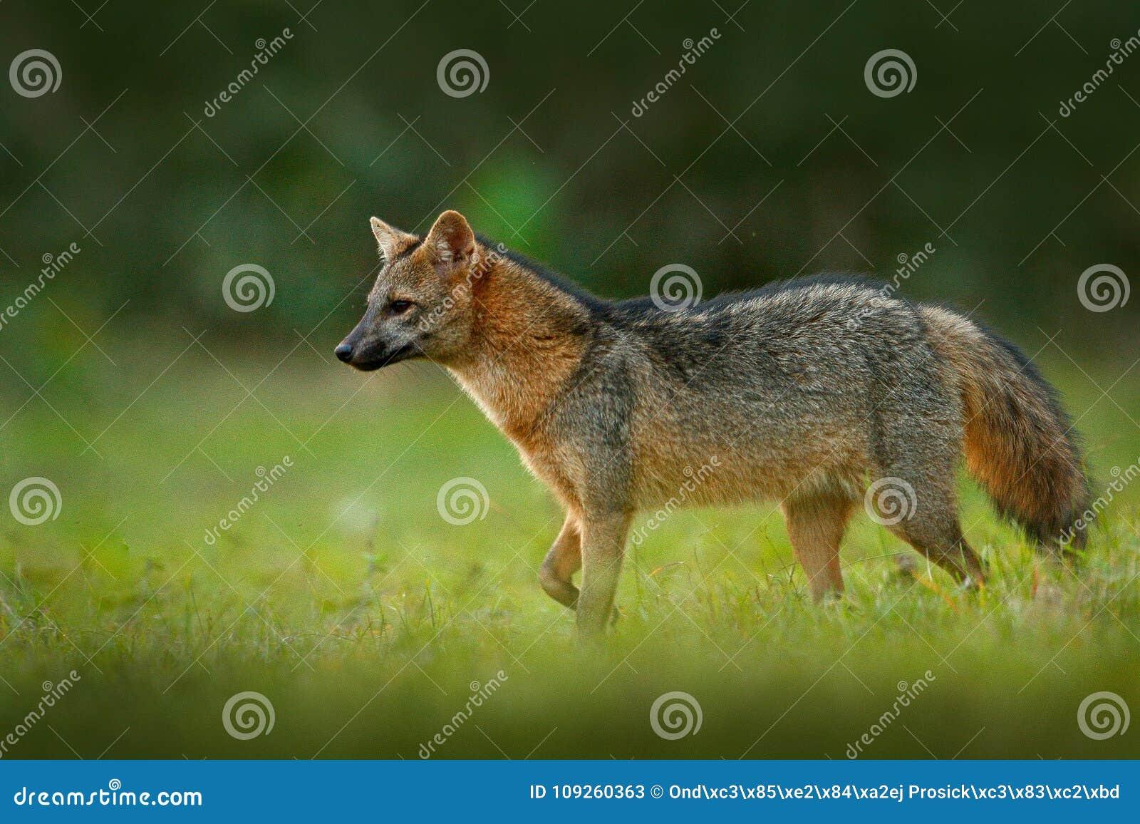Krabbe-Essen des Fuchses, der Cerdocyon-Tausende, des Waldfuchses, des hölzernen Fuchses oder des Maikong Wilder Hund im Naturleb