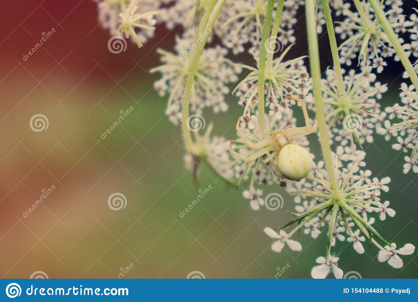 Krabspin op witte bloem