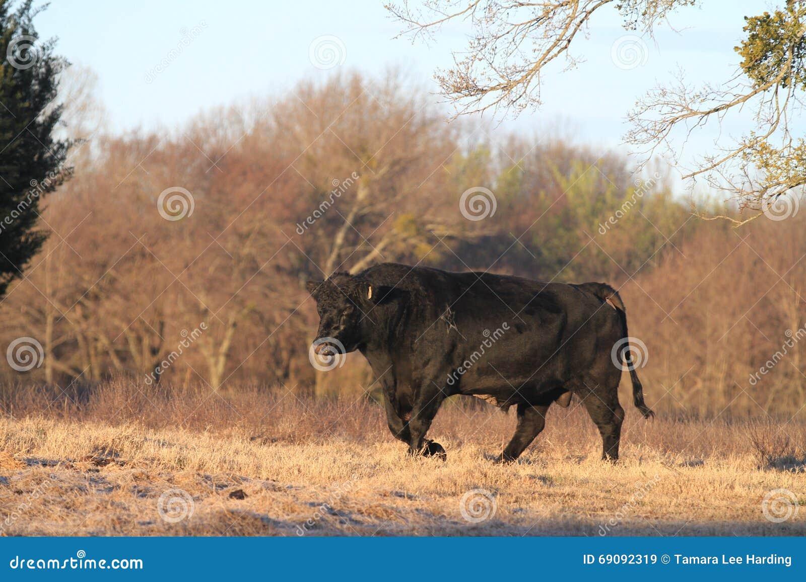 Kraftiga Angus Bull som går i vinter, betar