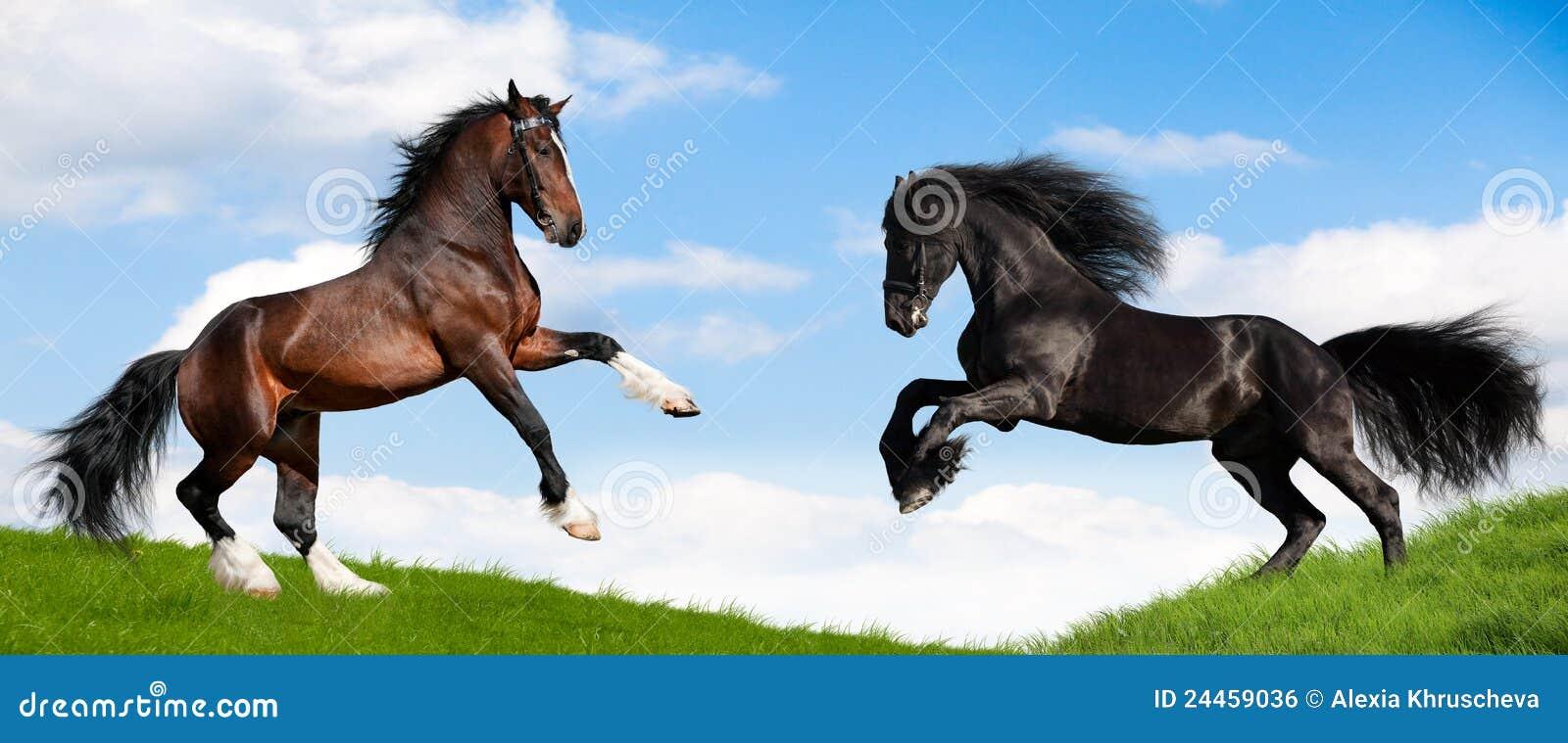 Kraftiga körningar två för fältgalopphäst