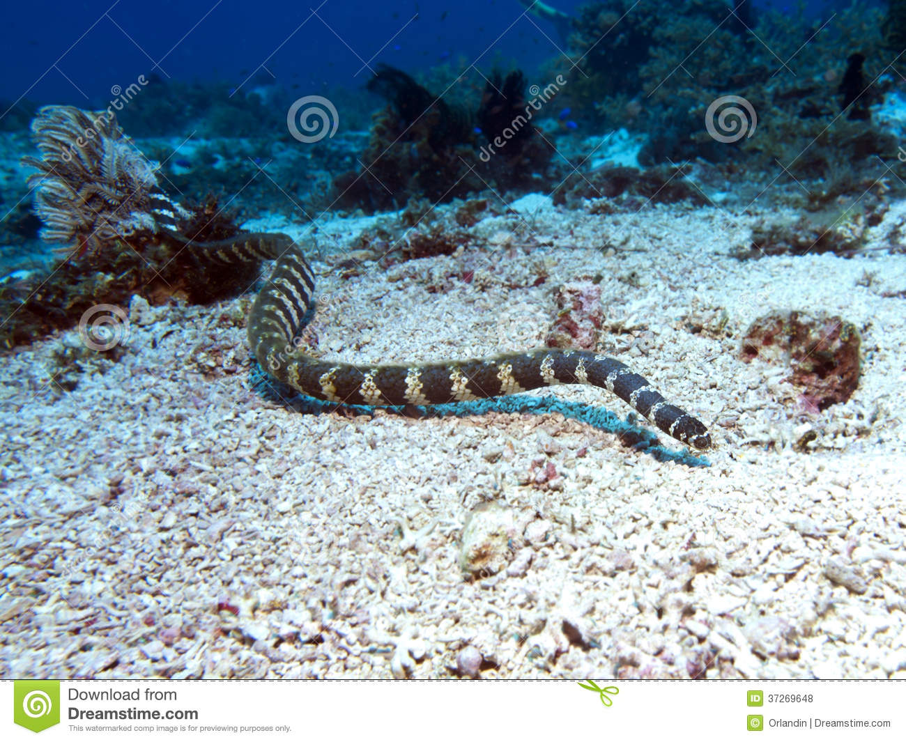 Krait congregado del mar