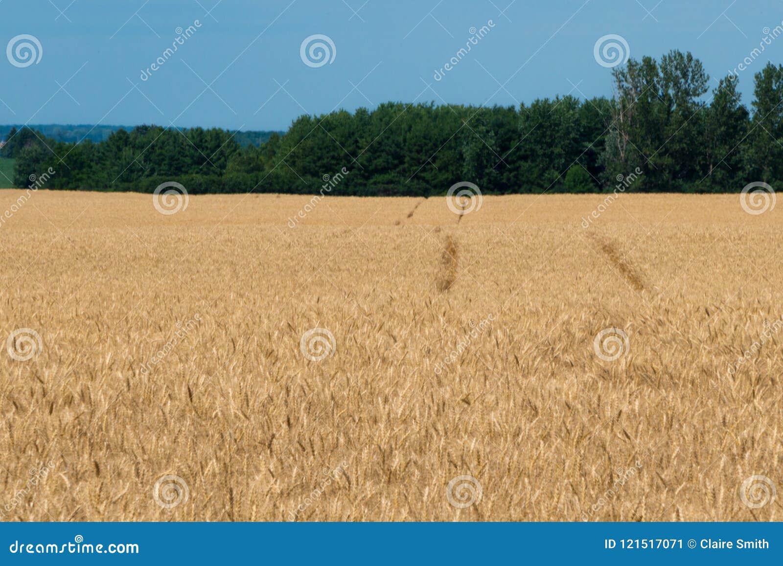 Krajobraz dojrzały pole uprawne z niebieskim niebem i whitespace dla tex