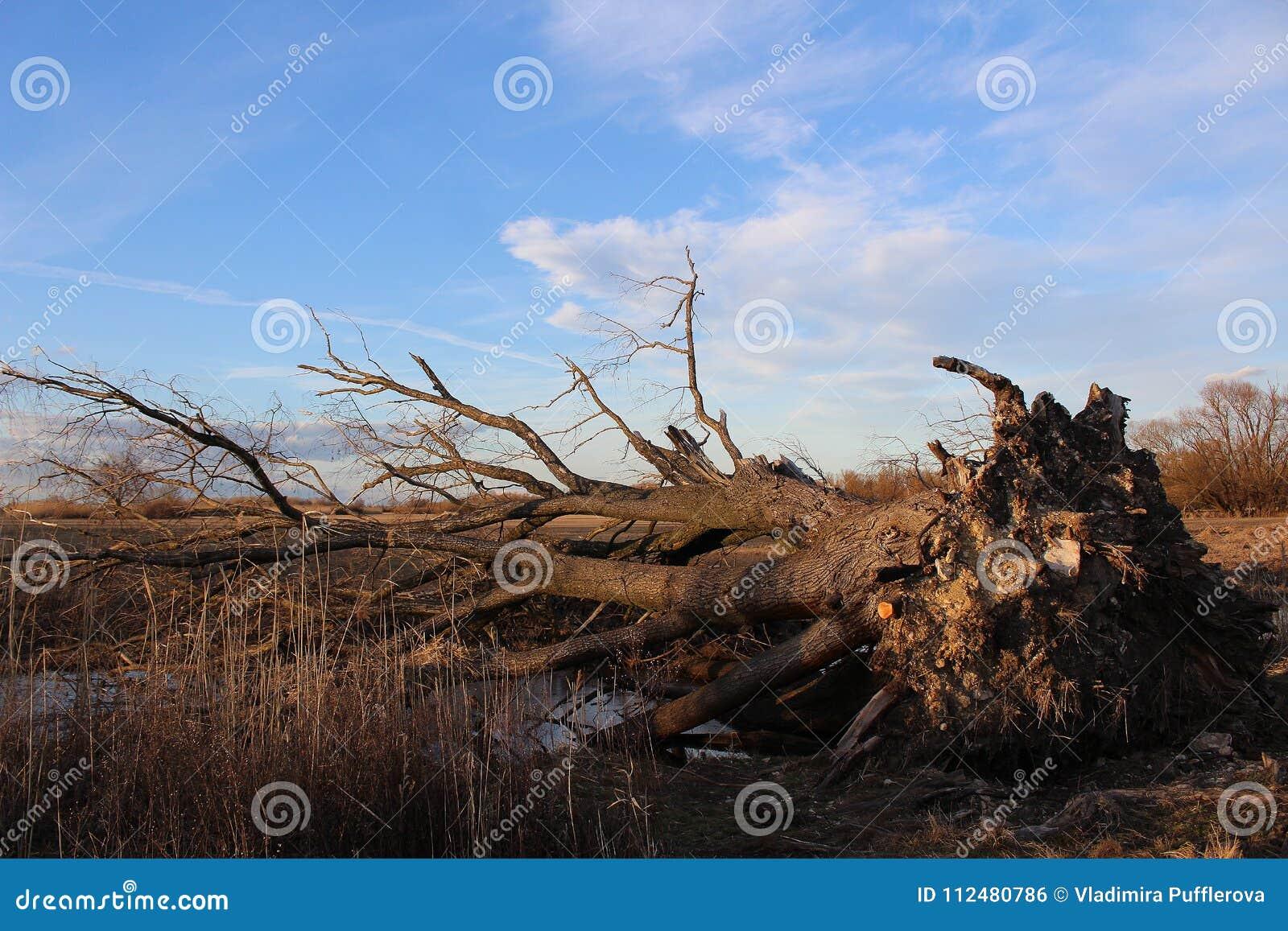 Krajobraz - po burzy - duży drzewo wykorzeniający dużą burzą