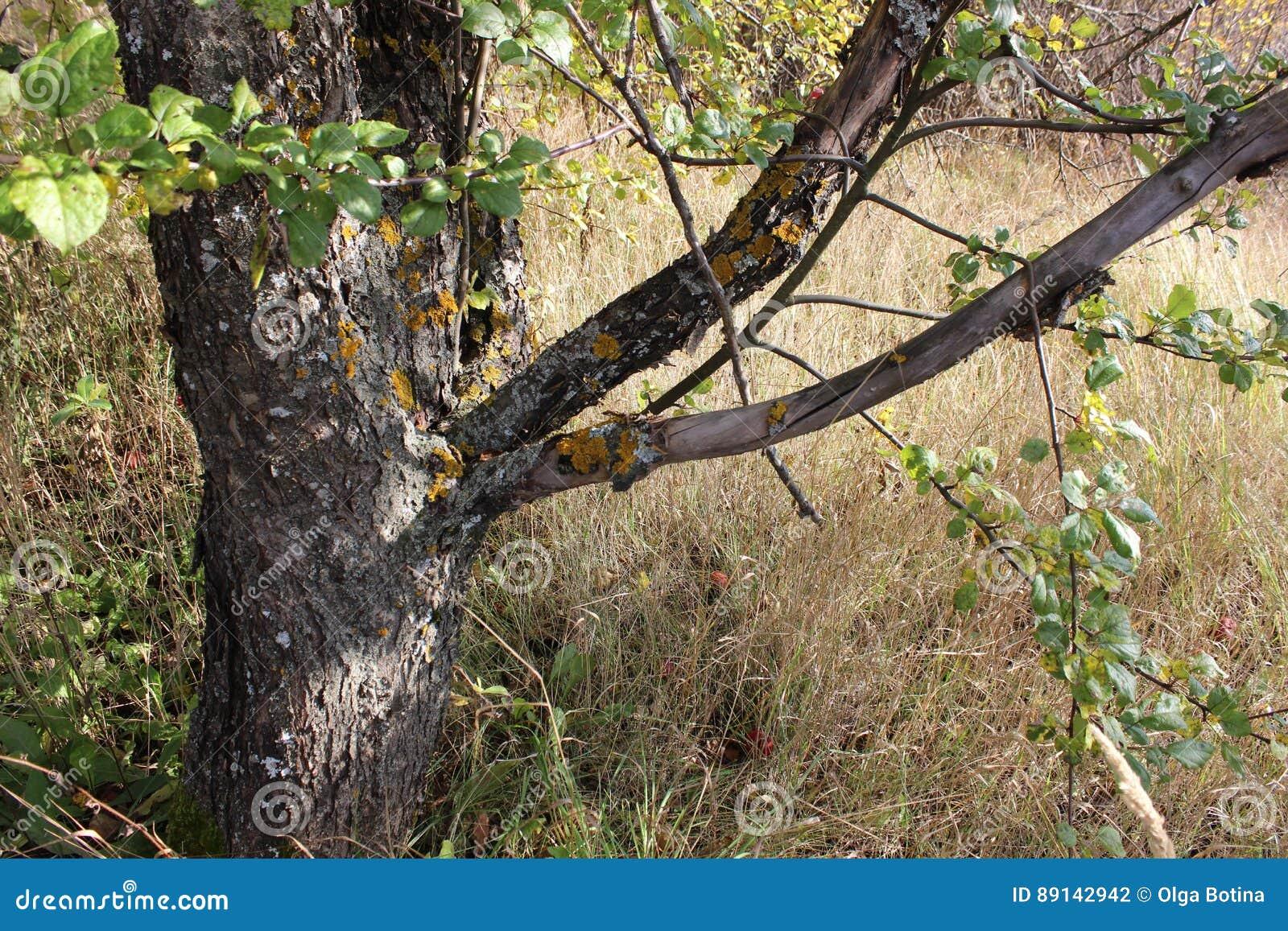 Krajobrazowy stary drzewo