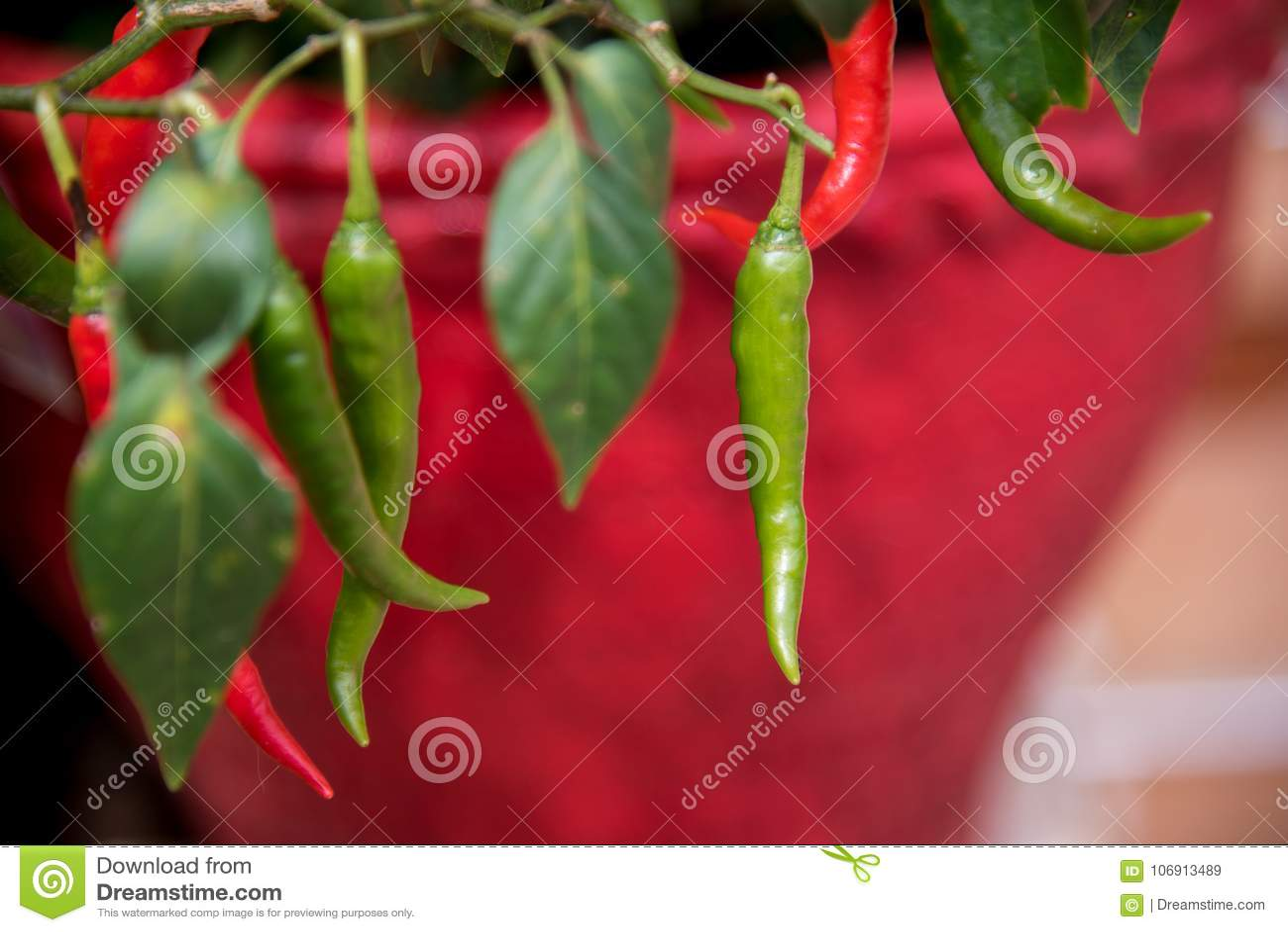 Krajowi chillies