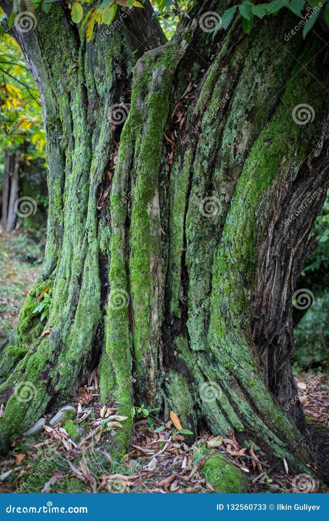 Krakingowa barkentyna stary drzewo przerastający z zielonym mech w jesieni lasowej Selekcyjnej ostrości Azerbejdżan